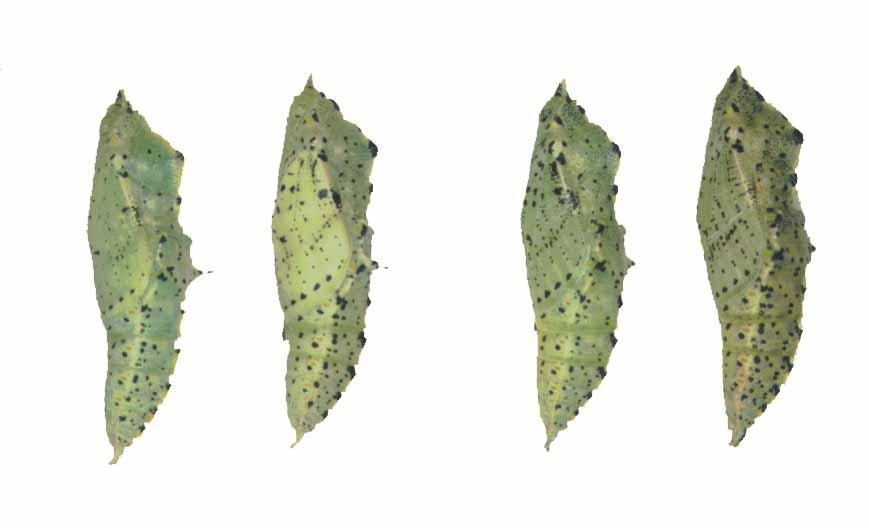 オオモンシロチョウ蛹です。